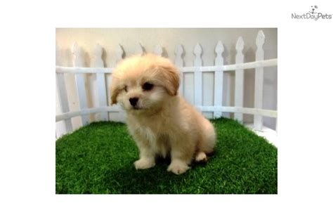 peekapoo puppies for sale near me adorable pekepoo puppies so pekepoo puppy for sale near san diego
