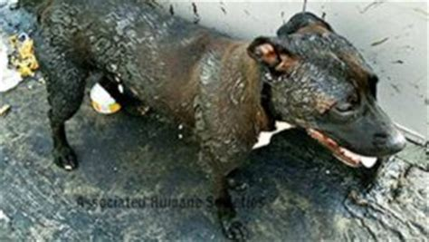 dog on a roof distraught dogs rescued from scorching hot tar roof in