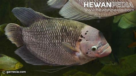Harga Benih Ikan Gurame 2016 cara budidaya ikan gurame hewanpedia