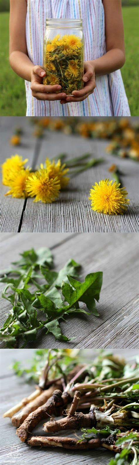 Dandelion Root Tea Detox Thc by 25 Best Dandelion Tea Detox Ideas On
