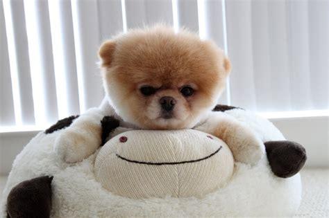 imagenes de cosas unicas boo el perro m 225 s mono del mundo cosas 250 nicas