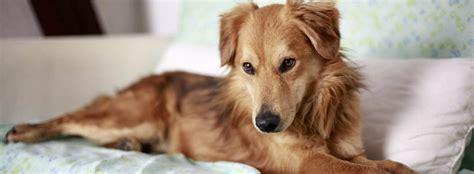 cani da appartamento di piccola taglia cani da appartamento di taglia media trovami