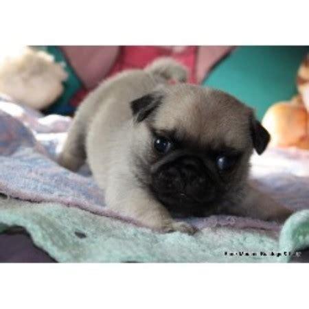 pugs for sale in alberta black mountain bulldogs pug breeder in san francisco