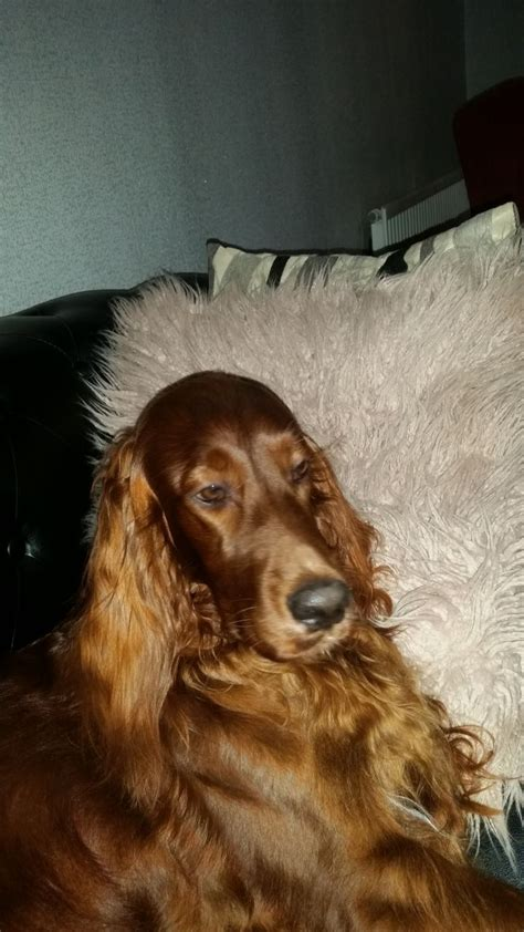 setter dogs for sale in ireland irish setter puppies barnsley south yorkshire pets4homes