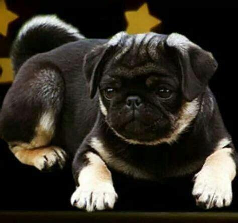 real pug really colors beautiful djur djur