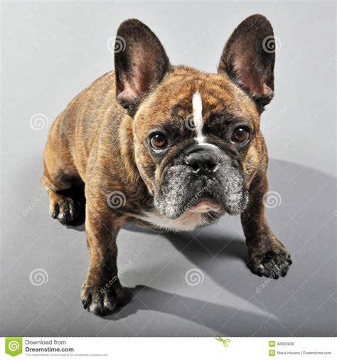 bulldog francese maschio striato inverso adorabile
