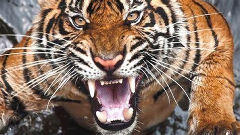 chine une femme se fait d 233 vorer par un tigre dans un parc
