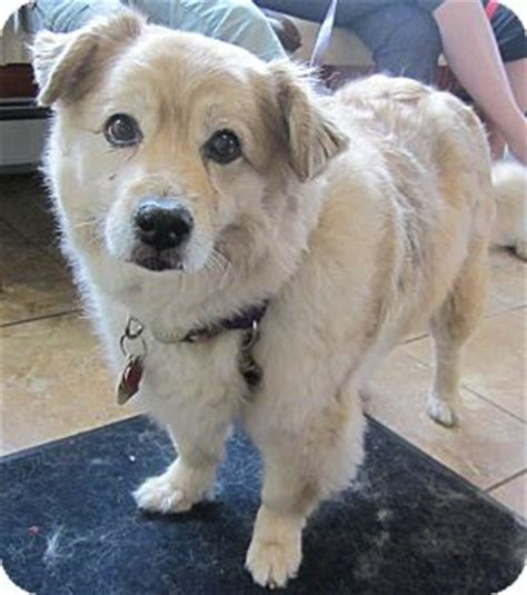 golden retriever american eskimo mix dahlia adopted oak ridge nj golden retriever