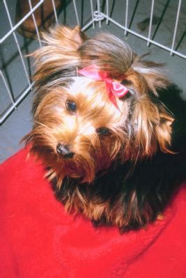 how to thin yorkies hair how to take care of a puppy yorkie s hair pets