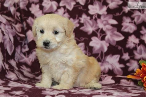 melena in dogs melena goldendoodle puppy for sale near lancaster pennsylvania c2f84ec1 fbe1