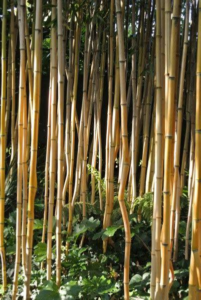 Bambus Pflanzen Wann 2354 by Bambus Pflanzen Wann Wann Bambus Pflanzen Wann Ist