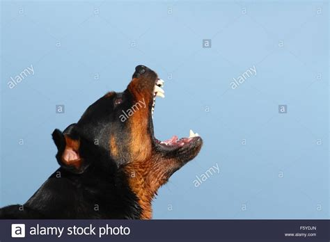 rottweiler barking barking rottweiler stock photo royalty free image 89728541 alamy