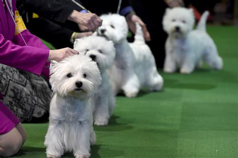 show dogs the cutest dogs of the 2016 westminster show