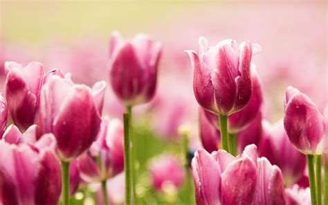 beautiful pink tulips wallpapers hd wallpapers id