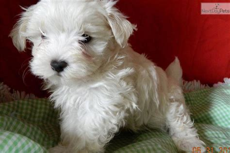 maltipoo puppies for sale in indiana akc purebred maltese breeds picture