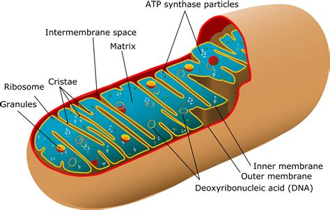 simple diagram of mitochondria mitochondria mitochondrial contraction