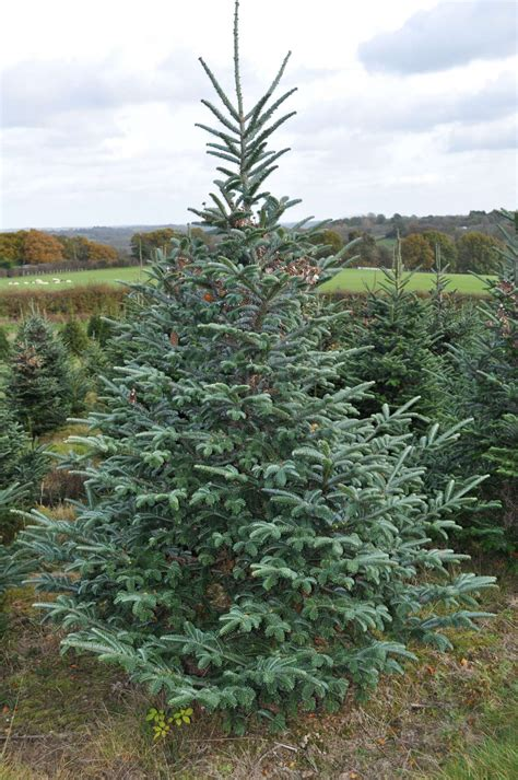 grandinroad noblis fir tree for sale fraser fir trees for sale sendmeachristmastree