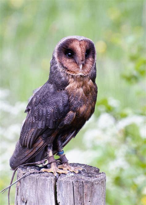 melanistic barn owl by fremlin on deviantart