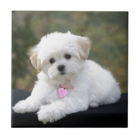 white fluffy puppy white fluffy gifts on zazzle