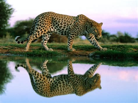 Jaguar Africa Humen Creations Nature Wallpapers Animals