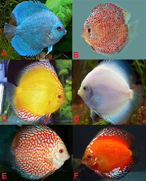 Makanan Ikan Hias Snow White ikan hias tropical fish ikan discus sympysodon