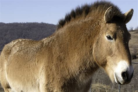 National Zoos 23 Year Old Przewalskis Horse Rolles Dead Worldnews | national zoo s 23 year old przewalski s horse rolles dead