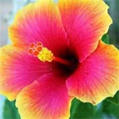 fiore ibisco significato ibisco significato fiori