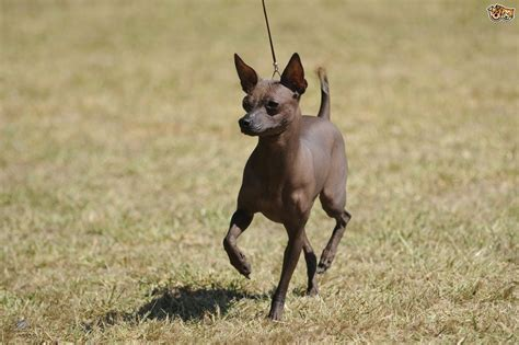 hairless dogs the four recognised hairless breeds pets4homes