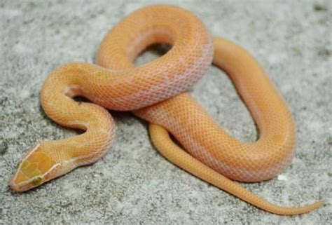 african house snake baby albino african house snakes