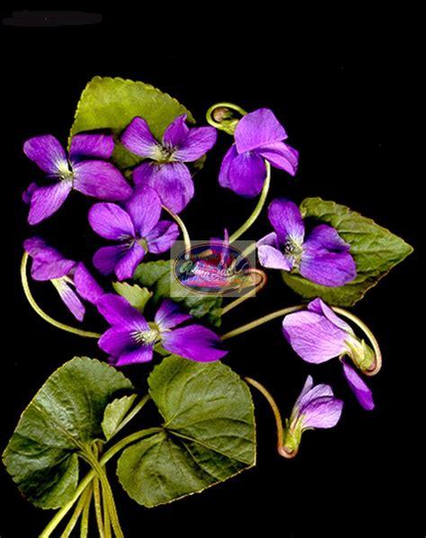 Sulap Five In One Flower violets violette naturaleza las flores y flores