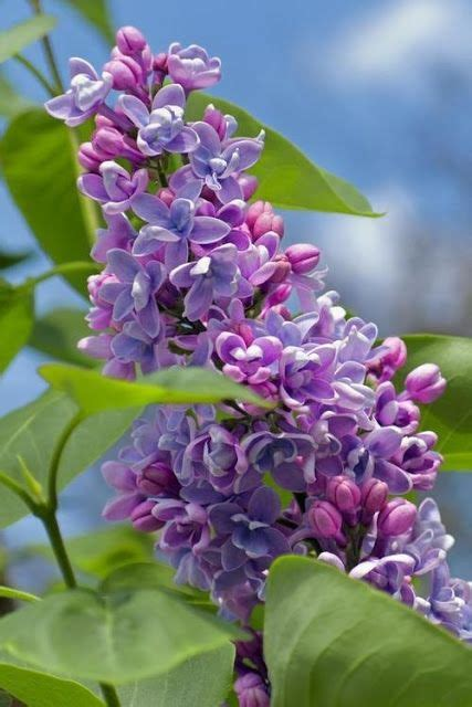 lilac flower meaning 17 best images about i love lilacs on pinterest gardens