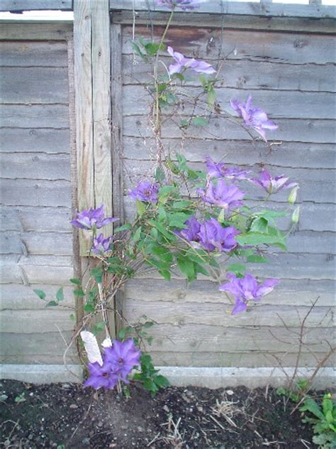 Clematis Mr President 2548 by Clematis Mr President Most Beautiful