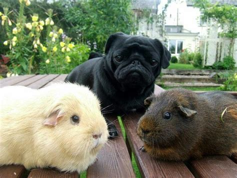 do pugs get on with cats 368 best ideas about guinea pig on guinea pigs cavy and hamsters