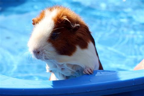 pig in a bathtub can i give my guinea pigs a bath pets4homes