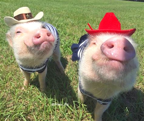 pig and adorable pigs might make you rethink your bacon sandwich priscilla and