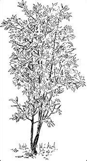 hickory tree coloring page hickory tree coloring page coloring pages for free
