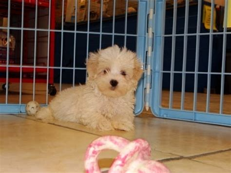 maltipoo puppies craigslist malti poo puppies dogs for sale in columbus macon