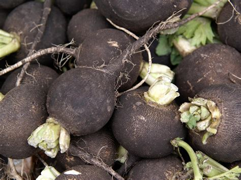 growing black radishes diy
