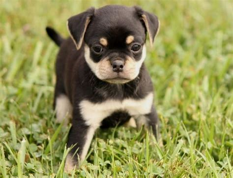 pug breeds mix 453 best pug mixed breeds images on pug mixed breeds adorable animals and