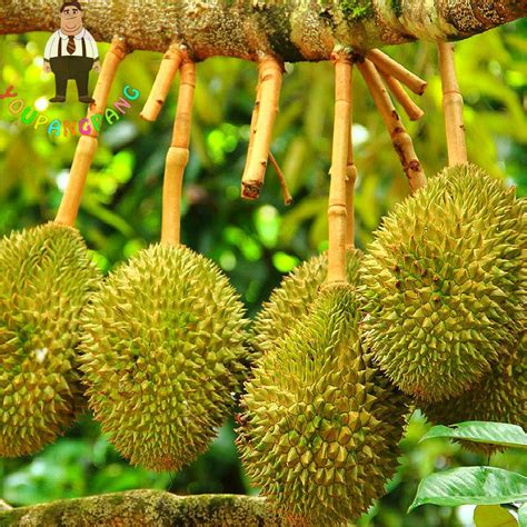 Durian 5pcs buy wholesale dried durian from china dried durian
