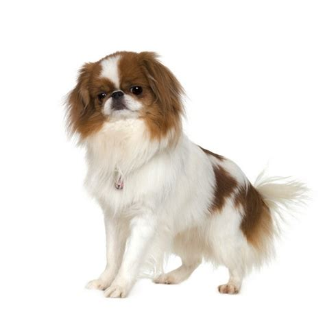 breeds for apartments 25 best breeds for small apartments top tips