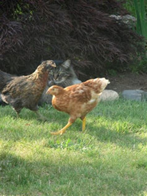 Backyard Chickens And Cats Raising Chickens Keeping Chickens In Your Backyard Do