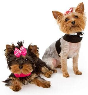 yorkie terrier clothes terrier the original foo foo