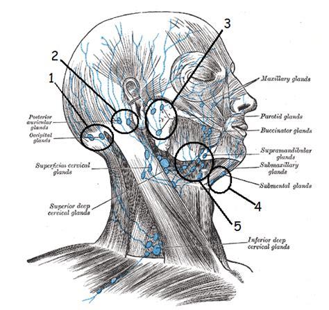 cadenas ganglionares cara enfermeriauq linf 193 ticos del cuello por juan c cifuentes v