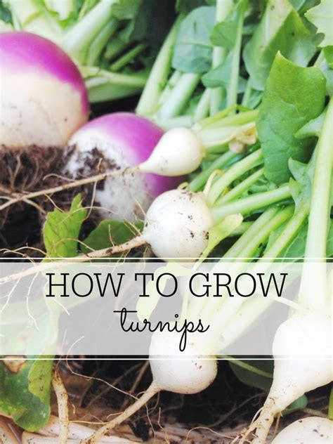 vegetable gardening how to grow vegetables the easy way books how to grow turnips a start different types of and my