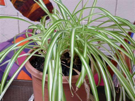spider plant no babies on spider plant why is my spider plant not