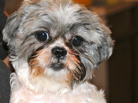 shih tzu tears shih tzu same shih tzu different day