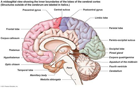 diagram of diencephalon brain and the cranial nerves