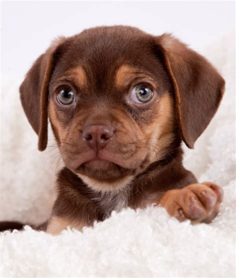best dogs for time owners puggle best breeds for time owners pets etc breeds
