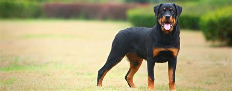 average size of rottweiler rottweiler breed health history appearance temperament and maintenance